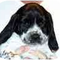Adopt A Pet :: Tully - Portland, OR