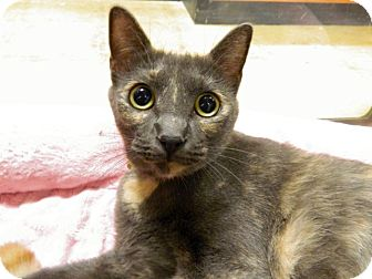 Domestic Shorthair Cat for adoption in The Colony, Texas - Moxie
