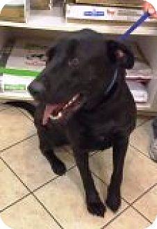 Labrador Retriever Mix Dog for adoption in Las Vegas, Nevada - Duke