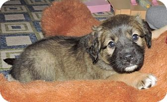 Boxer Mix Puppy for adoption in West Milford, New Jersey - COCOA