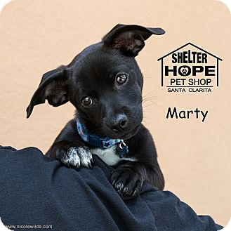 Chihuahua/Border Collie Mix Puppy for adoption in Valencia, California - Marty