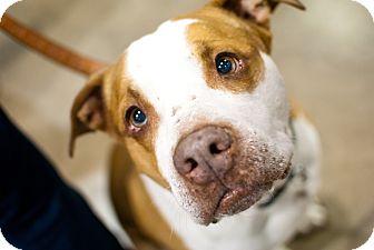 American Pit Bull Terrier/Pit Bull Terrier Mix Dog for adoption in Dayton, Ohio - Gemini