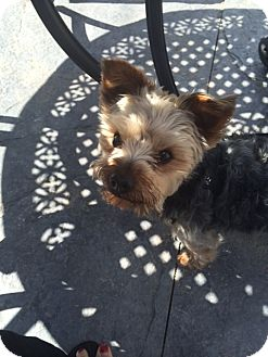 Yorkie, Yorkshire Terrier Mix Dog for adoption in Parker, Colorado - DEXTER