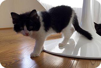 Domestic Mediumhair Kitten for adoption in Phoenix, Arizona - Cooper