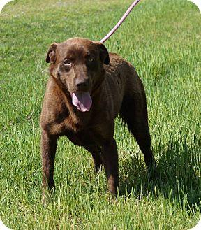 Labrador Retriever Mix Dog for adoption in East Hartford, Connecticut - Gracie Adoption Pending