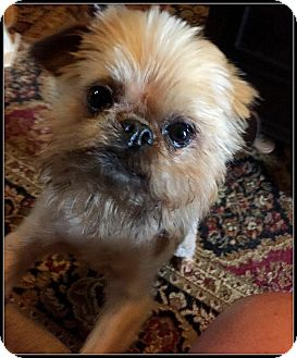 Brussels Griffon Dog for adoption in Jackson, Mississippi - RAZZLE DAZZLE - ADOPTION PEND