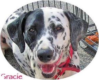 Dalmatian Dog for adoption in Mandeville Canyon, California - Gracie