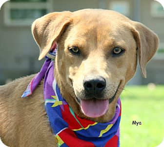 Labrador Retriever Mix Dog for adoption in San Leon, Texas - Mya