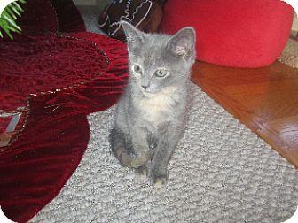 Domestic Shorthair Kitten for adoption in Carlisle, Pennsylvania - Zoey