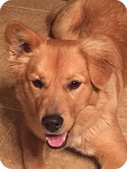 Golden Retriever/Corgi Mix Dog for adoption in Chandler, Arizona - Lucky