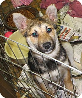 German Shepherd Dog Mix Puppy for adoption in Saint Paul, Minnesota - Sonia
