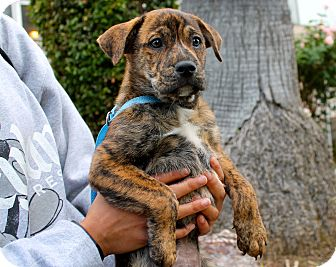 Shepherd (Unknown Type)/Mountain Cur Mix Puppy for adoption in Los Angeles, California - Phoenix