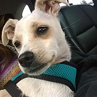 Terrier (Unknown Type, Small)/Chihuahua Mix Dog for adoption in Seattle, Washington - Treasure