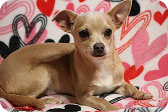 Chihuahua Mix Dog for adoption in Yadkinville, North Carolina - Scrappy