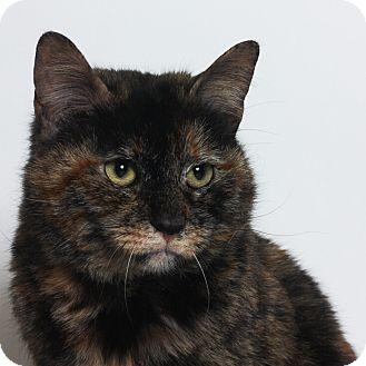 Calico Cat for adoption in Stockton, California - Lacy