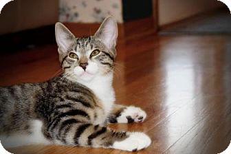 Domestic Shorthair Kitten for adoption in Wichita, Kansas - Finn