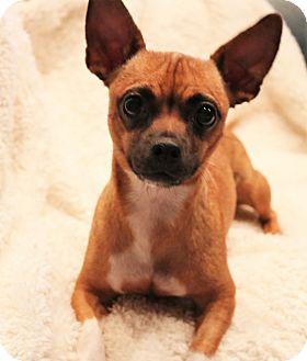 Pug/Chihuahua Mix Dog for adoption in Southington, Connecticut - Hula (Princess)