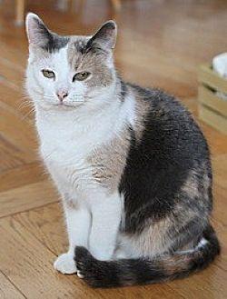 Domestic Shorthair Cat for adoption in Bainsville, Ontario - KERI