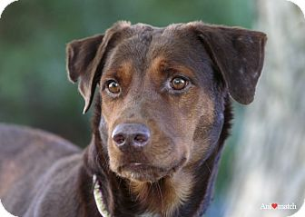 Labrador Retriever/Doberman Pinscher Mix Dog for adoption in Ile-Perrot, Quebec - SOLEIL