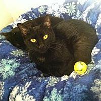 Domestic Shorthair Cat for adoption in New York, New York - Salem