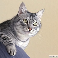 Domestic Shorthair Cat for adoption in Westchester, California - Clooney
