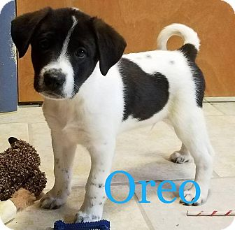 Labrador Retriever Mix Puppy for adoption in Sugar Grove, Illinois - Oreo