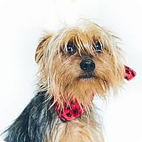 Adopt A Pet :: Ralphie - New Castle, PA