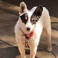 Adopt A Pet :: ACD Trident - Remus, MI