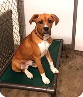 Boxer Mix Dog for adoption in Irwin, Pennsylvania - Robby