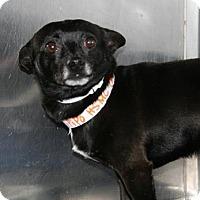 Adopt A Pet :: Pipo - Bradenton, FL
