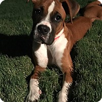 Adopt A Pet :: Zari - Denver, CO
