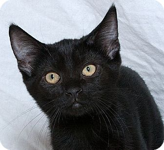 Domestic Shorthair Kitten for adoption in Sacramento, California - Vader W