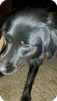 Border Collie Dog for adoption in Apple Valley, California - Kayleigh