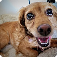 Adopt A Pet :: Miss Chatelaine - Santa Barbara, CA