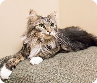 Norwegian Forest Cat Cat for adoption in Chicago, Illinois - Sophie