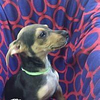 Mixed Breed (Medium) Mix Puppy for adoption in Mesa, Arizona - ROSCO 10 WK MIX BREED