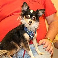 Adopt A Pet :: Gizmo - Rochester, MN