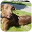 Photo 4 - Labrador Retriever/Shepherd (Unknown Type) Mix Dog for adoption in Berkeley, California - Hero