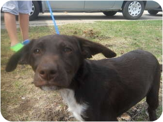 German Shorthaired Pointer/Labrador Retriever Mix Puppy for adoption in Roseville, Michigan - LuLu
