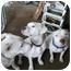 Photo 4 - Labrador Retriever/Great Dane Mix Dog for adoption in Bakersfield, California - Ricky
