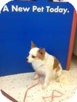 Chihuahua Dog for adoption in Algonquin, Illinois - Lucy