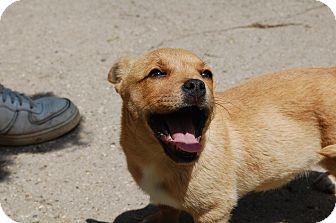 Corgi Mix Puppy for adoption in Hainesville, Illinois - Sasha