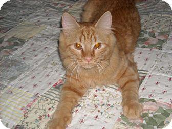 Maine Coon Cat for adoption in Arlington, Virginia - Trevor