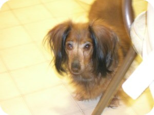 Dachshund Dog for adoption in Shawnee Mission, Kansas - Lilly Gia