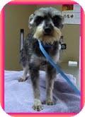 Schnauzer (Miniature) Dog for adoption in Washington, D.C. - Victoria