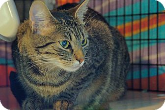 Domestic Shorthair Cat for adoption in Victor, New York - Keelah