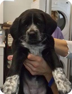 German Shorthaired Pointer/Australian Shepherd Mix Puppy for adoption in Grants Pass, Oregon - K.C.
