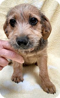 Terrier (Unknown Type, Medium) Mix Puppy for adoption in Beacon, New York - Faith