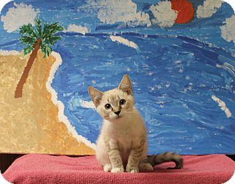 Siamese Cat for adoption in Stockton, California - Belle