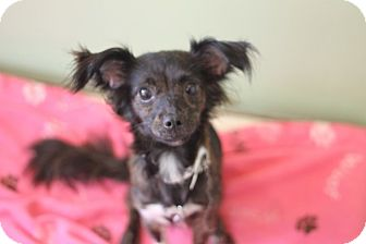 Chihuahua Mix Dog for adoption in Chicago, Illinois - Begonia